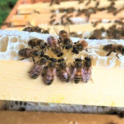 ELM 200719 honey bees feeding