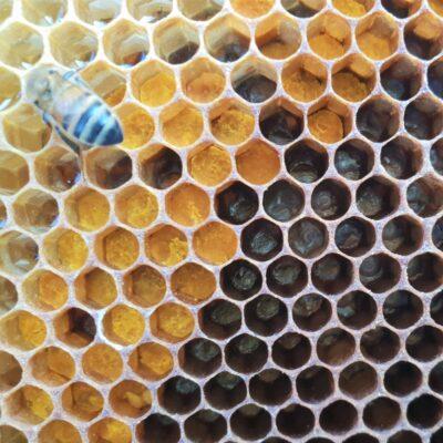 Segro AD 140920 Hive 2 pollen and larvae
