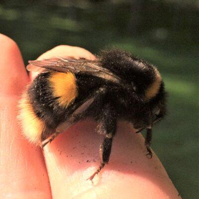 Buff tailed bumble bee 260420 garden queen